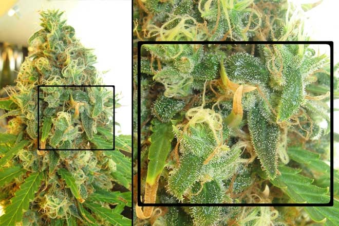 when to harvest weed