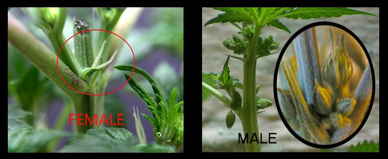 Marijuana Male versus female