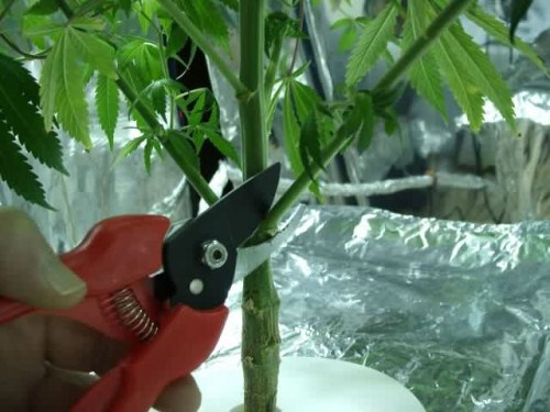 trimming marijuana plant