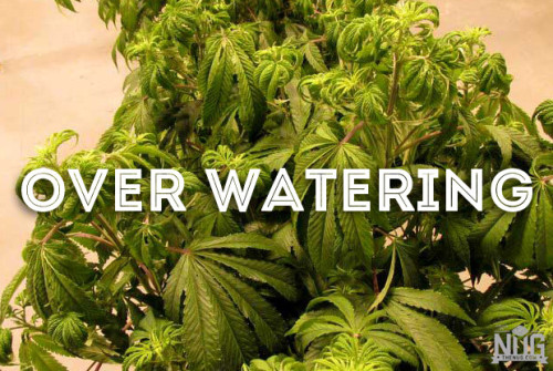cannabis over watering