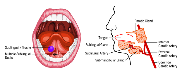 anatomy graphic showing where the sublingual is